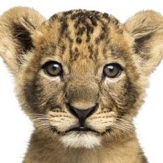 oroszlán vagy!