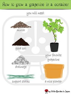 How to grow a grape vine in a container
