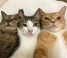 These pretty cats will warm your heart. Cats are awesome companions. Animals And Pets, Baby Animals, Funny Animals, Cute Animals, Funny Cats, I Love Cats, Crazy Cats, Cool Cats, Cute Kittens
