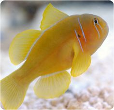 Citron Clown Goby, Citrin Goby - Gobiodon citrinus