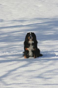 Luna, a Bernese Mountain Dog in the Snow in Central New York.