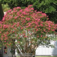 Oleander (oleandro in Italian). They grew in Italy in the Middle Ages, but had not yet reached England, where my hero, Nick, is from.