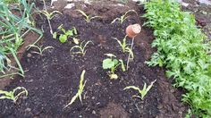 The #rain is watering the #allotment for me, which is good for my sweet corn and squashes that I planted. #gardening