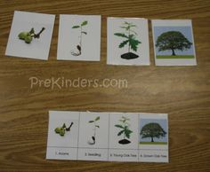 These cards can be used to show children the life cycle of an oak tree: from acorn, to seedling, to young oak tree, to full grown oak tree. These can also be added to the science center, along with the self-checking card, for children to put in order.