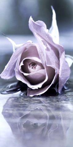 ** Lilac