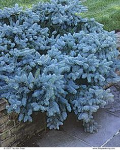 Picea pungens 'Glauca Pendula' plant with pink Verbenas or pink Anenomes Dwarf Evergreen Shrubs, Dwarf Trees, Trees And Shrubs, Trees To Plant, Garden Shrubs, Landscaping Plants, Garden Plants, Landscaping Ideas, Gardening Zones
