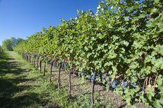 Ecco l'uva con cui si fa il vino degli Angeli