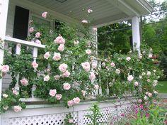New Dawn climbing rose bush along the front porch railing- June 2013 Cindy Carter