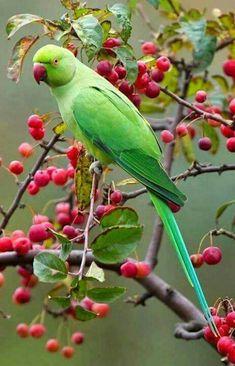 7 Best Tota images in 2012   Parakeet, Parrot, Birds