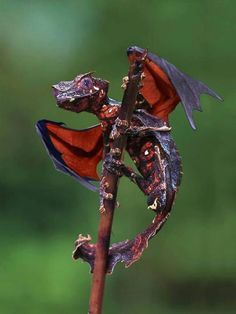 Satanic Leaf Tailed Gecko .. Wow a little dragon  - While the Leaf-Tailed Gecko is real, the wings are not.