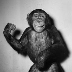 Happy Chimp