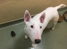 Bull Terrier dog for Adoption in Boston, MA. ADN-723368 on PuppyFinder.com Gender: Female. Age: Adult
