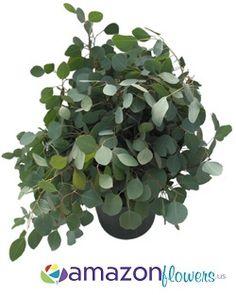 Bulk Silver Dollar Eucalyptus Flower, Wholesale Wedding Flowers & Online Florist | Amazonflowers.us