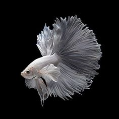 Some interesting betta fish facts. Betta fish are small fresh water fish that are part of the Osphronemidae family. Betta fish come in about 65 species too! Pretty Fish, Beautiful Fish, Animals Beautiful, Beautiful Pictures, Colorful Fish, Tropical Fish, Betta Fish Types, Carpe Koi, Fish Wallpaper
