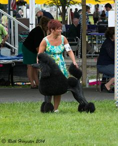 Standard Poodle Dog show at the Grange Fair grounds in Centre Hall, PA