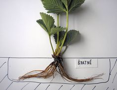 Jak úspěšně pěstovat jahody: termín a způsob výsadby   Zahrádkář Plant Hanger, Milan, Plants, Gardening, Compost, Lawn And Garden, Plant, Planets, Horticulture