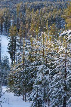 Early winter ski trek in Pärnävaara, Liperi, Finland Copyright: Pentti Rautio
