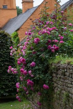 Rosa 'Paul Smith' at Allt-y-bela in Monmouthshire. B&B availability throughout the summer. Photo: Britt Willoughby Dyer