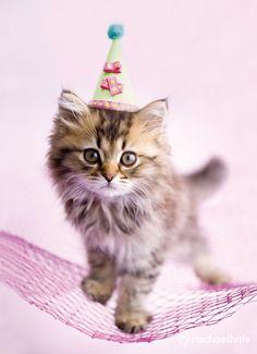 Lulu (Chincilla/Persian Cross Kitten) - Lulu is happy to hang out all day long.