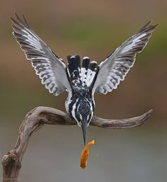 "tiny-creatures:  ""Oops….(Pied Kingfisher.)""by Yaki Zander"