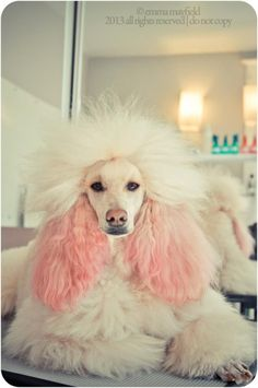Amazing hand crafted jewellery and accessories available for poodle moms and poodle dads at PawsPassion. Represent your poodle puppy with our amazing merchandise! Perros French Poodle, French Poodles, Standard Poodles, Poodle Grooming, Pet Grooming, Cortes Poodle, I Love Dogs, Cute Dogs, Poodle Haircut
