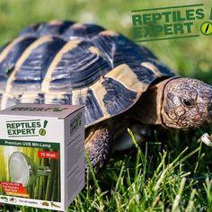 Reptiles Expert Tipp für Griechische Landschildkröten. Die ideale UV-Beleuchtung: bei Jungtieren 35 Watt Metalldampflampe / 30 cm Abstand. Bis zu 70 Watt und 40-50cm Abstand möglich. Link, Baby Cubs, Reptiles, Alps, Lighting, Autumn, Simple, Tips