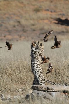 A sequence shot of the leopard jumping to catch a bird