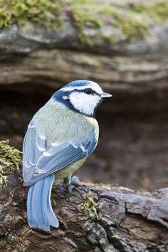 Blue Tit (Cyanistes caeruleus)  temperate Europe and Western Asia
