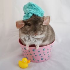 """lesbianheart: """"Chinchilla moodboard for 💕💗💕💗💖💗💕💗 """" Animals And Pets, Baby Animals, Funny Animals, Guinea Pig Toys, Guinea Pigs, Chinchilla Cute, Super Cute Animals, Cute Animal Pictures, Cute Creatures"""