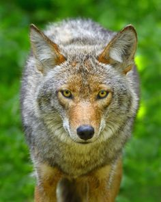 Coyote. Don't like these creatures who prey on our pets!
