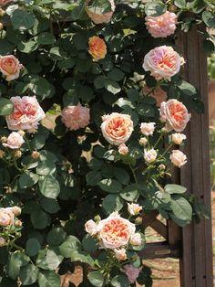 Roses - Alchymist   Flickr - Photo Sharing!