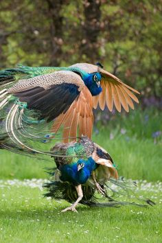 """Indian peafowl or Blue peafowl (Pavo cristatus) """"Peacock Fight"""" Peacock Pictures, Bird Pictures, Animal Pictures, Exotic Birds, Colorful Birds, Beautiful Creatures, Animals Beautiful, Animals And Pets, Cute Animals"""