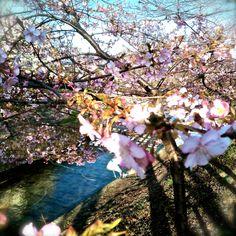 そう、誰にも負けませんよ。表現。そして、あなたへの、愛情。 #japan  #nara  #sahogawa  #aratamete  #anata  #ai  #aozora  #zenfone  #makenai  #sakura