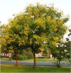 Golden Rain Tree - Looking forward to adding one of these trees to our back yard SOON...
