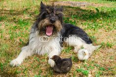 Portrait of funny yawning dog with two baby chicks #Dog #Animals #Pets #Farm #Chick #Baby #Spring #Easter #AnimalWallpapers