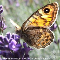 Argusvlinder op Lavendel. Op 3 cm voor de lens.  Wallbrown on lavender.  #vlinders #vlinder#butterfly #papillon #vlinderfotografie#hobby#natuur#nature#bloemen#flower#garden#tuin#plants#planten#tuinieren#gardening#septembergarden #igclubbutterfly  #Argusvlinder #Lasiommatamegera#wallbrown#lavender #lavendel #closeup#macro