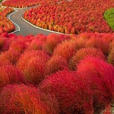 Burning Bush (Kochia Trichophylla) - Grown from Burning Bush seeds, this feathery bush is pale green in the summer, but then transforms to an intense red in the