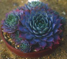 Sempervivum cv. 'Lilac Time'