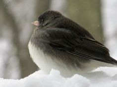 Junco arrived from Canada, I saw them first day of winter, this year 12-1-2015
