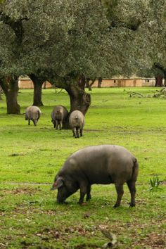 Iberian pata negra pigs, the ones used for Iberica Jamones de Bellota, foraging for bellotas (acorns) near Montanchez (Caceres). Photo by Gerry Dawes©2013 / gerrydawes@aol.com / http://www.gerrydawesspain.com Canon 5D Mark III / Canon 70 200mm f/4L USM with Canon 1.4 Telextender.