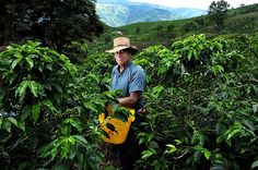 Gorgeous Zona Cafetera in Colombia Coffee Market, Colombian Coffee, Coffee Plant, Drip Coffee, Thirty Two, Best Resorts, How To Speak Spanish, Best Coffee, Climate Change