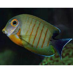 Eibli MIMIC Tang (Acanthurus tristis)