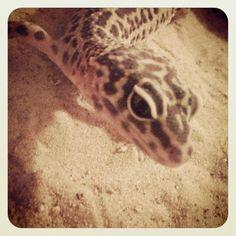 My beautiful leopard gecko!