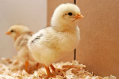 It�s Beyond Heartbreaking, but There�s no Mercy for Young Animals in the Meat, Dairy and Egg Industries