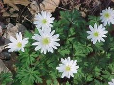 """Anemone blanda - (purple and white on tag) - 4"""" high - dormant after flowering. Spreads - in front of back yard blue ice Cyprus"""