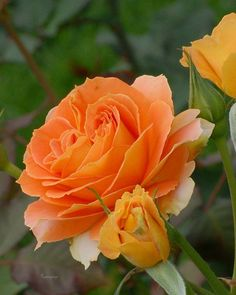 Salam and Good Morning everyone This morning raining again Have a nice day Love Rose, My Flower, Pretty Flowers, Rose Flower Pictures, Colorful Roses, Orange Roses, Carnivorous Plants, English Roses, Beautiful Roses