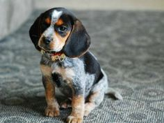 (3) Beagle Pet - Beautiful blue tick Beagle :)