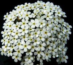 Flores ornamentales: Andrósace (Androsace x cylindrica x hirtella)
