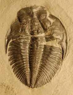 Name: Alokistocare subcoronatum   (Hall and Whitfield, 1877) Order: Ptychopariida, Suborder: Ptychopariina, Superfamily: Ptychoparioidea, Family: Alokistocaridae  Locality: Wellsville Mountains, Utah  Stratigraphy: Ute Formation, Middle Cambrian   Size: 5.5 cm