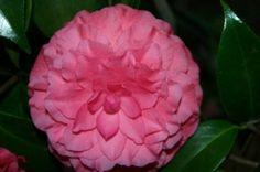 17 Camellia Varieties Registered in 2012